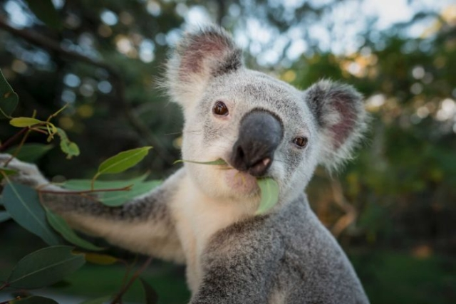 https: img-k.okeinfo.net content 2020 02 05 18 2163446 puluhan-koala-mati-di-hutan-produksi-australia-harusnya-malu-YczvzJX7Ol.jpg