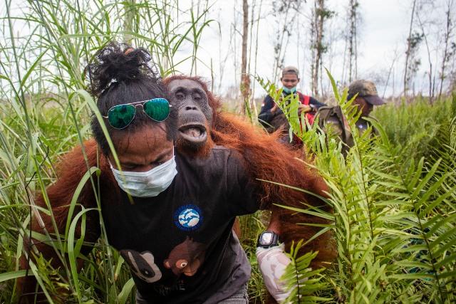 https: img-k.okeinfo.net content 2020 02 07 340 2165130 dampak-karhutla-masih-menyisakan-luka-penyelamatan-orangutan-terus-dilakukan-iIEAPSphoh.jpg