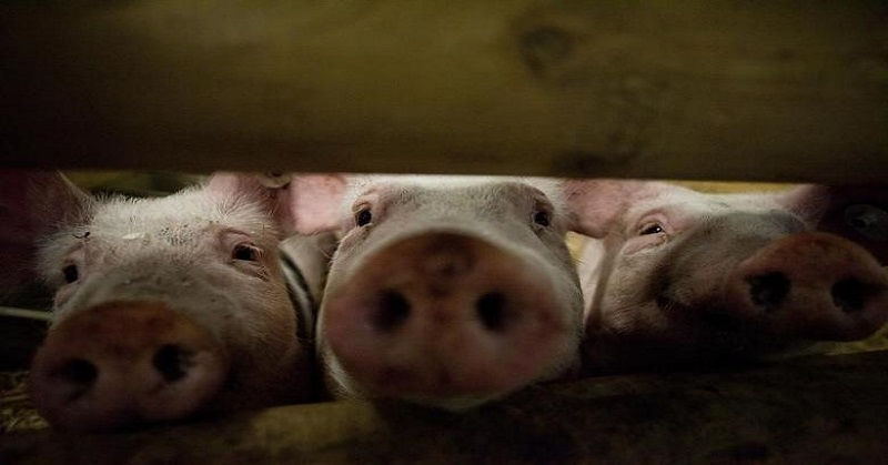 https: img-k.okeinfo.net content 2020 02 11 608 2166608 46-600-babi-mati-di-sumut-dinkes-pastikan-virus-kolera-tidak-menular-ke-manusia-wHEPxIQLni.jpg