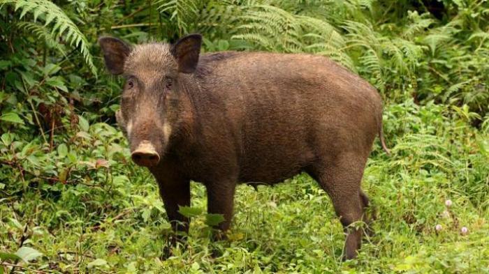 https: img-k.okeinfo.net content 2020 02 13 608 2167787 selesaikan-masalah-babi-pemerintah-harus-dialog-dengan-warga-batak-tRFo4Snh0k.jpg