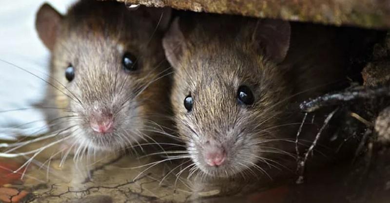 https: img-k.okeinfo.net content 2020 02 26 481 2174268 leptospirosis-mengancam-pasca-banjir-kenali-gejala-penyakit-kencing-tikus-ini-QK0CAehsnK.jpg