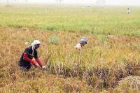 Produksi Beras di RI Belum Merata, Daerah Terpencil Kena Imbasnya!