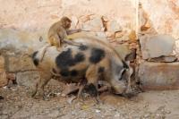 Momen Unik Persahabatan Monyet dan Babi Diabadikan Turis Inggris di India
