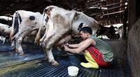 Cegah Infeksi Kelenjar Susu, Tim Peneliti UB Ciptakan Antiseptik untuk Puting Sapi Perah
