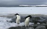 Fosil Monster Penguin Raksasa Seberat 100 Kg Ditemukan di Selbar