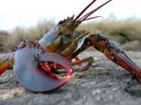 Pemerintah Swiss Keluarkan Aturan yang Melarang Lobster Direbus Hidup-Hidup dalam Air Mendidih