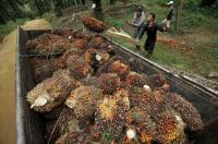 Asian Agri Dorong Optimalisasi Produksi Kelapa Sawit