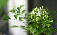 Khasiat Makan Bunga Melati seperti Nyai Roro Fitria