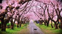 Ingin Liburan di Jepang karena Bunga Sakuranya? Lihat Dulu Jadwal Merekahnya