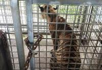 Ada Kemajuan, Harimau Bonita Sudah Mau Makan Selama Dikarantina
