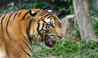 Petani Diterkam Harimau saat Sedang Meladang