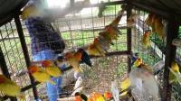 Burung Diusik, Ratusan Penangkar dan Penghobi Unjukrasa