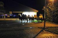 Kabur dari Sirkus, Tujuh Unta Datangi Supermarket di Jerman