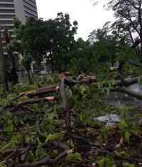 Diguyur Hujan Deras, Sejumlah Pohon di Jakpus Tumbang