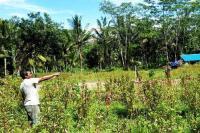 Populasi Tak Terkendali, Sekelompok Monyet di Bali Jarah Hasil Tani Warga