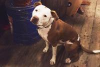Anjing Pittbul Penyerang Satpam Komplek Ternyata Kanibal