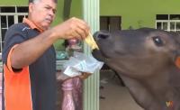 Tak Doyan Rumput, Seekor Sapi di Malaysia Pilih Makan Roti Canai dan Kopi