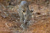 Kemunculan Macan Tutul Meningkat di India Dinilai Ada Keuntungannya, Ini Faktanya!