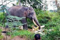 2 Gajah Latih Kelelahan Hadapi Gajah Liar di Permukiman Warga