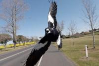 Serangan Burung Magpie Tewaskan Pesepeda di Australia
