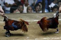 Resahkan Warga Jambi, Lokasi Judi Arena Sabung Ayam Ditutup