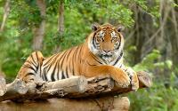 Wisawatan di Sumsel Diterkam Harimau Putih, BKSDA Langsung Pasang Kamera Tersembunyi