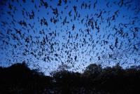 5 Fakta Menarik Kelelawar, Ternyata Kotorannya Jadi Bahan Peledak