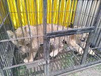 Polda Riau Gagalkan Penyelundupan 4 Anak Singa dan Leopard