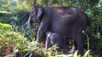 Bayi Gajah yang Terkena Jerat Pemburu Ditinggal Kawanannya