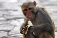 Kawanan Monyet Serbu Permukiman Warga hingga Merusak Kebun