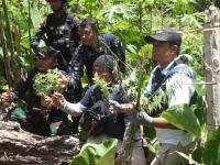 BNN dan Satgas Pamtas Temukan Ladang Ganja di Perbatasan RI-Papua Nugini