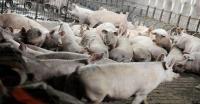 Babi Mati Mendadak di Perbatasan NTT-Timor Leste Bertambah Jadi 440