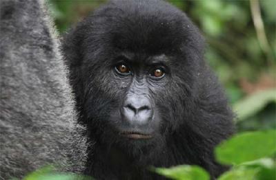 Daur Ulang Ponsel Selamatkan Populasi Gorila, Benarkah?