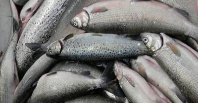 Awas, Tanya Aneh-Aneh soal Ikan ke Menteri Susi, akan Ditenggelamkan!