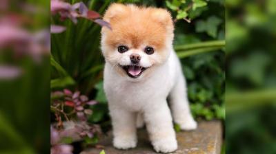 Anjing Terlucu di Dunia Meninggal, Netizen Berduka