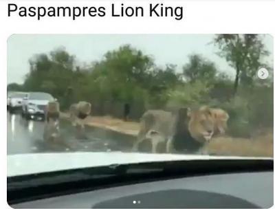 Singa Jadi Paspampres, Aksinya Bikin Warga Kocar-kacir