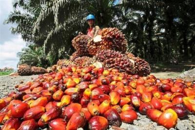 Produksi Minyak Sawit Austindo Nusantara Naik 6,6%