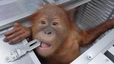 Pria Rusia Ditangkap di Bali karena Coba Selundupkan Bayi Orangutan