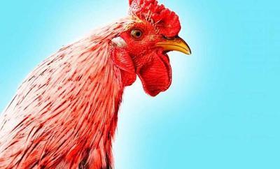 Emak-Emak Vs Ayam Jago, Siapa yang Menang Hayo?