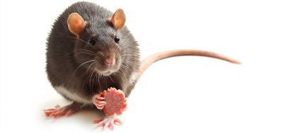 Fakta Unik, Ternyata Gigi Tikus Lebih Kuat daripada Besi!