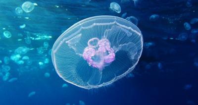 Sea World Ancol Budidayakan Ratusan Ubur-Ubur, untuk Apa?