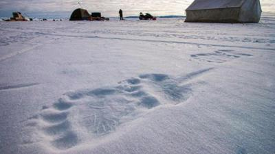 Intip Jejak Kaki Beruang Kutub dengan Berat Hampir Setengah Ton
