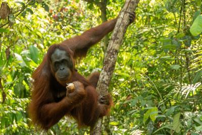 Mau Bertemu Orangutan? Ini 5 Tips Jelajah Hutan di Kalimantan