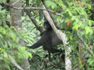 Monyet Surili, Hewan Khas di Taman Nasional Gunung Ciremai