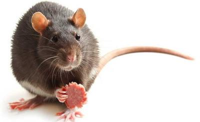 Ketika Tikus Adu Jotos di Stasiun Tertangkap Kamera