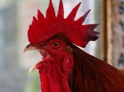Ini Alasan Ilmiah Ayam Jantan Berkokok Setiap Pagi