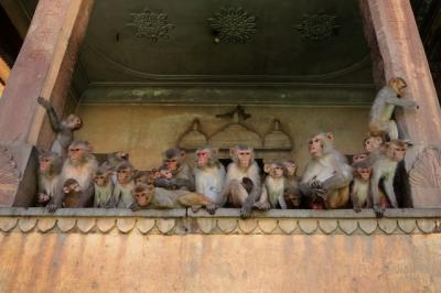Gerombolan Monyet di India Curi Sampel Darah Covid-19, Masyarakat Panik